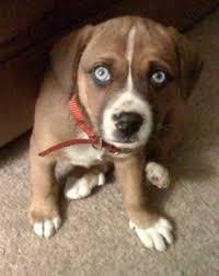 beagle boxer puppy