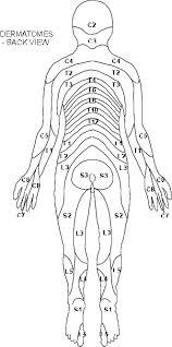 dermatome charts
