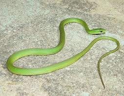 small green snakes