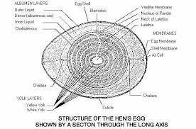 diagram of a egg