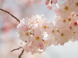 عکس گل بهاری