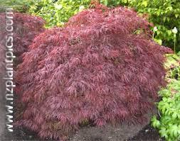 japanese ornamental tree