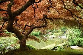 japan maple tree