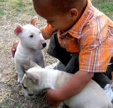 puppy bull terriers