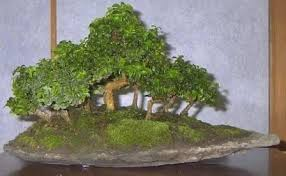bonsai jade tree