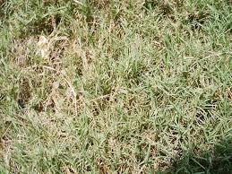 bermudagrass lawn