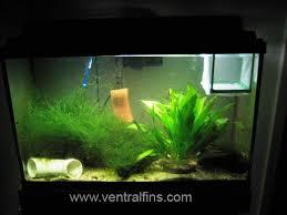 betta breeding tank
