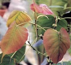 ficus religiosa bonsai