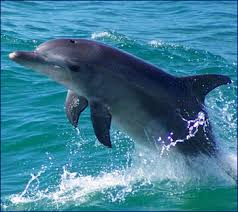 dolphin wild