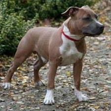 american staffordshire terrier info