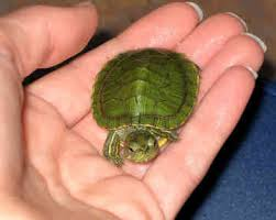 red eared sliders turtle