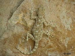 gecko lizards