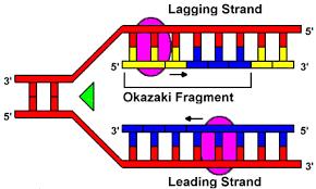 dna polymerase replication
