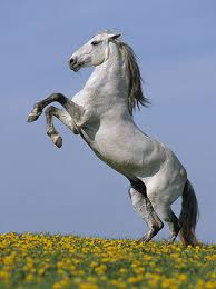 pictures of stallion horses