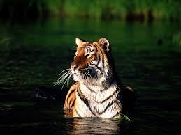 bengal tiger pics