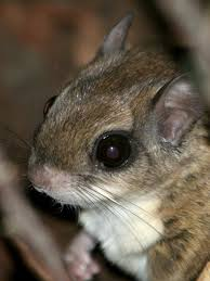 flying squirrels facts