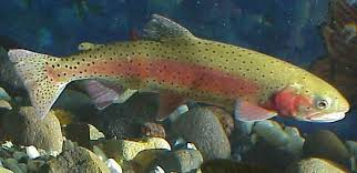 cutthroat trout photos
