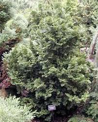 dwarf false cypress