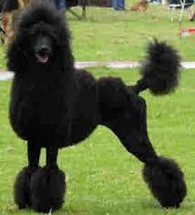 black poodles