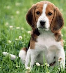 beagles puppies