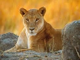 lioness club