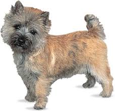 cairn terriers pictures