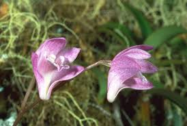 orchid rock