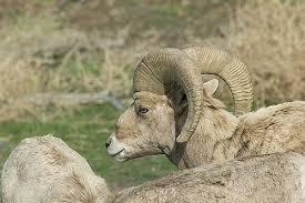 bighorn sheep horns