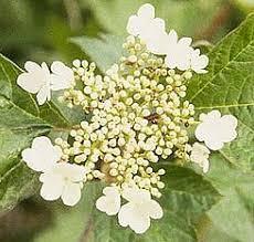 american cranberry viburnum