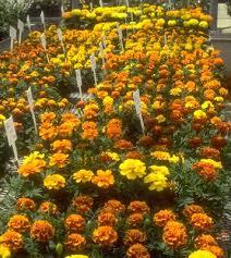 marigolds flower
