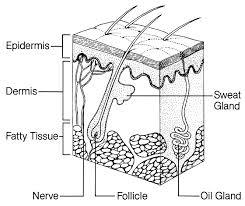 labeled diagram of skin