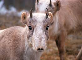 endangered antelopes