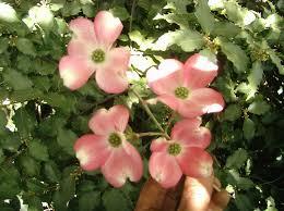 cornus florida flowering dogwood