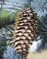 blue spruce pine