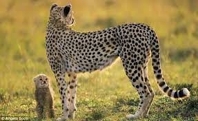 big cat diary cheetah