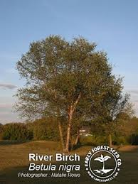 river birch tree pictures