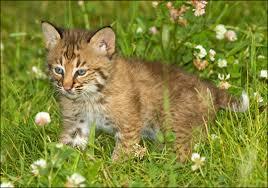 animal bobcats