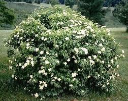 arrowwood viburnum shrubs