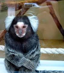 marmoset monkey pictures