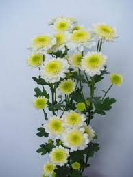 china chrysanthemum