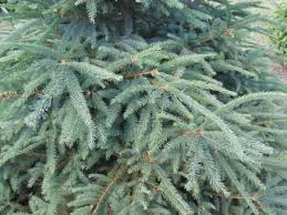 norway spruce photo