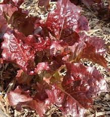 looseleaf lettuce