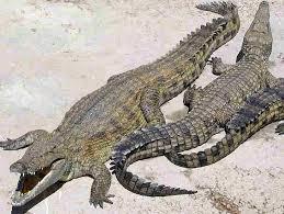 crocodiles in africa
