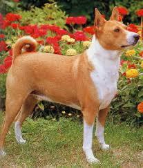 african barkless dog
