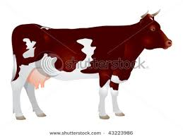 cattle stock