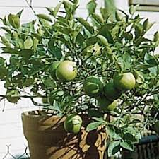 key lime trees
