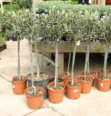 standard olive tree