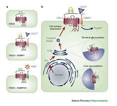 cgrp receptor