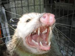 picture of an opossum