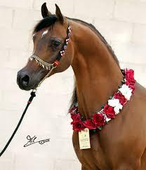arabian horse stallions